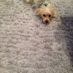 Arlington_Heights-Dog-carpet-clean