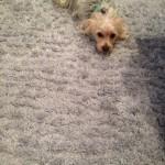 Arlington_Heights-Dog-carpet-clean